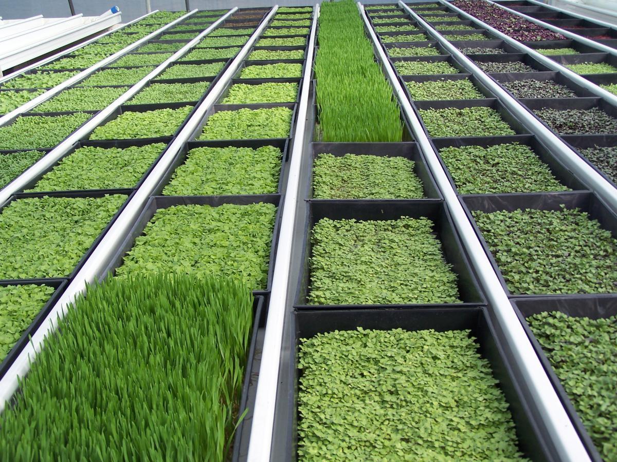 Выращивание зелени на продажу