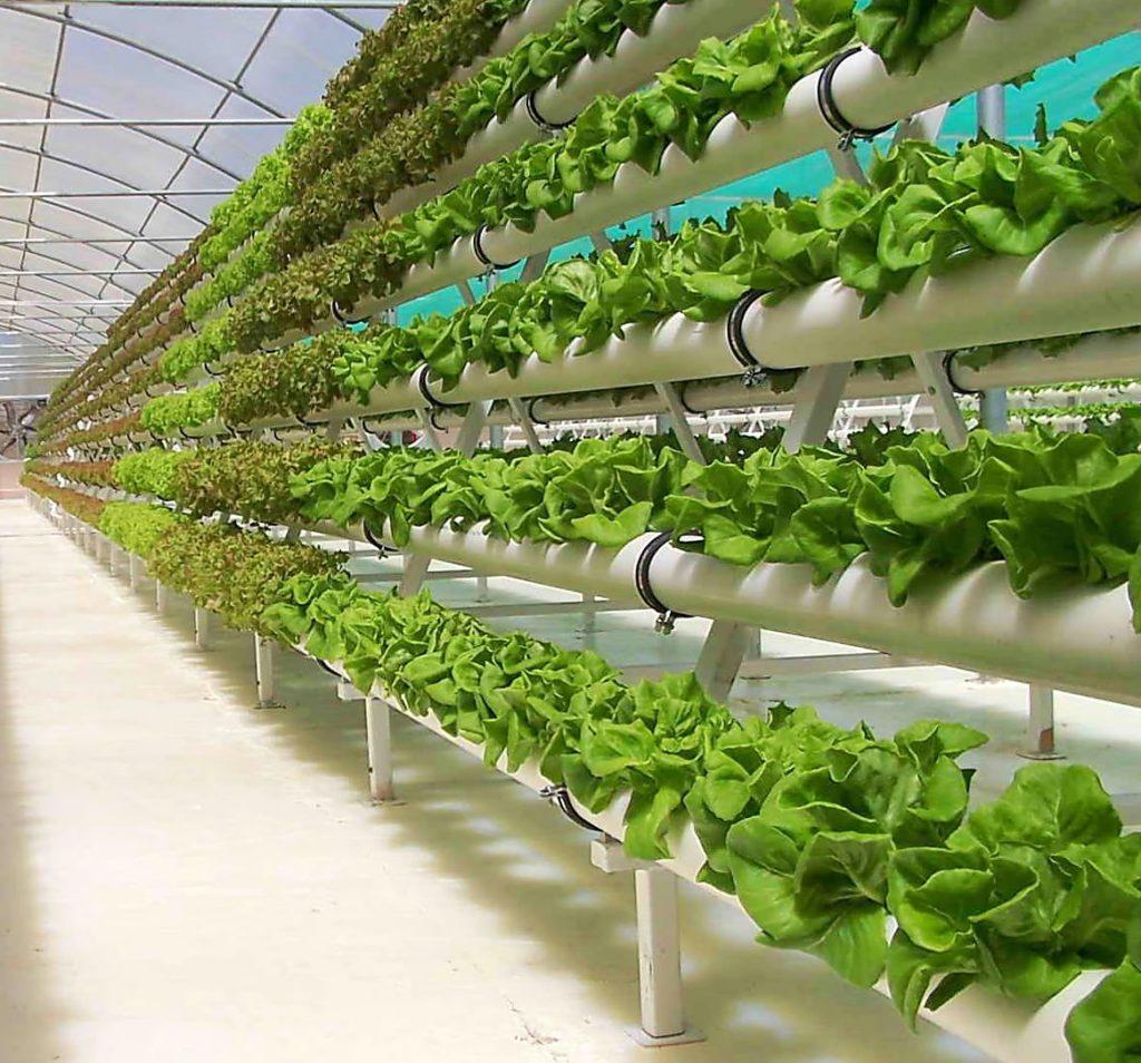 При посадке можно использовать как семена, так и готовую рассаду